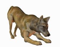 Cojote en position d'attaque Image stock