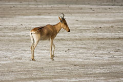 Coke's Hartebeest Stock Photography
