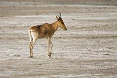 Coke's Hartebeest. Kongoni antelope on salt flats in Serengeti National Park, Tanzania Stock Photography