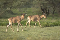 Coke's Hartebeest (Alcelaphus buselaphus cokii) in Tanzania Royalty Free Stock Images