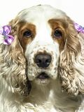 Coker spaniel dog. Portrait of cocker spaniel isolate on white Stock Photos