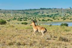 Cokes Hartebeest, Running Nairobi National Park, Kenya Royalty Free Stock Photography