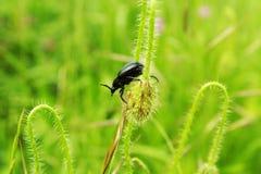 coléoptère Image libre de droits