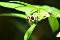 Coléoptère d'écran protecteur d'Ixora de coléoptère Images libres de droits