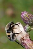 Coléoptère d'abeille image stock