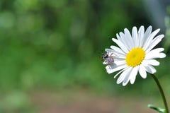 Coléoptère de beauté sur la fleur de camomille Images libres de droits