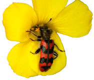 Coléoptère de fleur Image stock