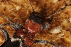 Coléoptère de fourmi Photo stock
