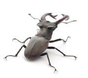 Coléoptère de mâle Image libre de droits
