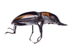 Coléoptère de mâle images libres de droits