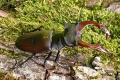 Coléoptère de mâle Photographie stock