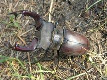 Coléoptère de mâle (cervus de Lucanus), mâle photographie stock