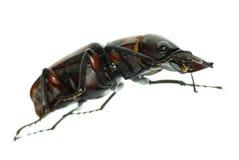 Coléoptère de mâle d'insecte photo stock