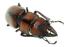 Coléoptère de mâle d'insecte photographie stock