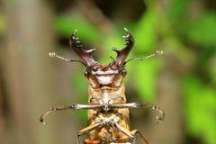 Coléoptère de mâle de Miyama Images libres de droits