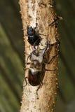 Coléoptère de mâle de Miyama Image libre de droits
