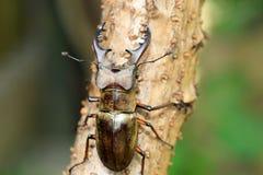 Coléoptère de mâle de Miyama Photographie stock