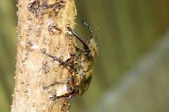 Coléoptère de mâle de Miyama Photos libres de droits