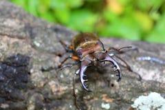 Coléoptère de mâle de Miyama Photos stock