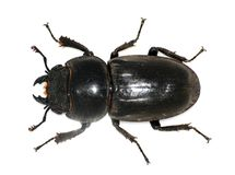 Coléoptère de mâle femelle images stock