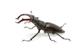 Coléoptère de mâle mâle de rampement (cervus de Lucanus) Photographie stock