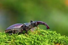 Coléoptère de mâle rare Photo stock