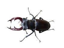Coléoptère de mâle sur le blanc Photos stock