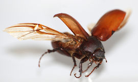 Coléoptère de mouche images stock