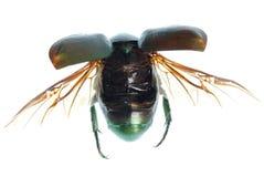 Coléoptère de vert d'insecte de vol d'isolement sur le blanc image stock