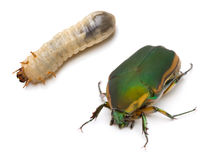 Coléoptère et larve photos stock