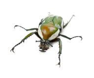 Coléoptère flamboyant femelle de fleur Photos stock