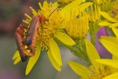 Coléoptère (fulva de Rhagonycha) Photos libres de droits