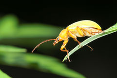 Coléoptère jaune photographie stock