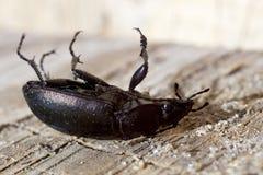 Coléoptère noir Photos libres de droits