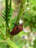 Coléoptère noir rouge Photo libre de droits