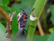 Coléoptère orange photo stock