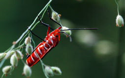 Coléoptère rouge Photo libre de droits