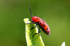 Coléoptère rouge de Milkweed Images libres de droits