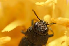 Coléoptère sur la fleur Photo libre de droits