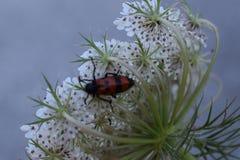 Coléoptère sur la fleur Photo stock