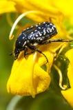 Coléoptère sur la fleur jaune photo libre de droits