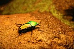 Coléoptère Vert-Jaune de scarabée Photographie stock libre de droits