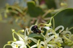coléoptères Photo libre de droits