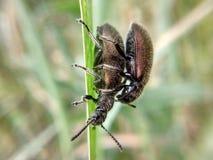 coléoptères Photos libres de droits