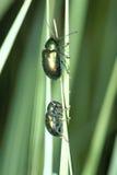 coléoptères Bouteille-verts Images libres de droits