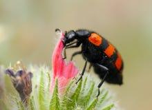 Coléoptères d'ampoule sur une fleur Photos stock