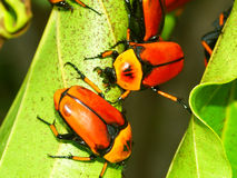 Coléoptères de fleur - Queensland Image stock