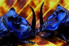 Coléoptères de fumier de combat Photo libre de droits