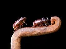 Coléoptères de klaxon Photos libres de droits