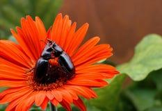 Coléoptères de lutte Image libre de droits